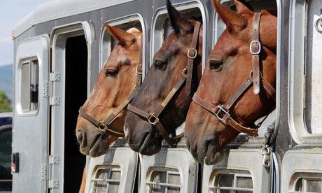¿Qué hace falta para transportar caballos en un van?